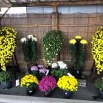 笠間稲荷神社の菊まつりに是非お越しください!